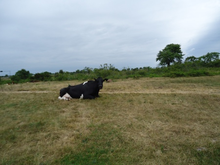 öland6 - this cow liked to pose while we was leaving the ruin