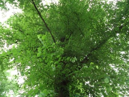 Light green tree in Nyköping